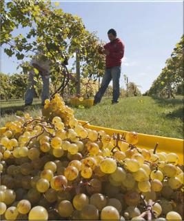 Harvesting grapes on a vineyard
