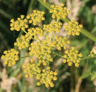 Wild parsnip yellow flowers.