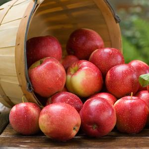 Basket on its side overflowing with apples.