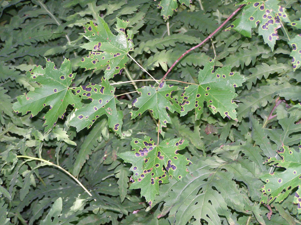 dark shiny spots in clusters on maple leaves laying on a bed of other plant leaves