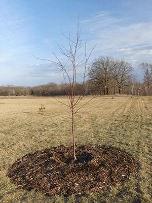 Young tree in large open field with mulch around the base