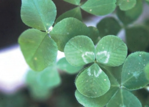 how to get rid of white clover