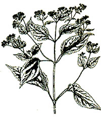 An illustration of white snakeroot
